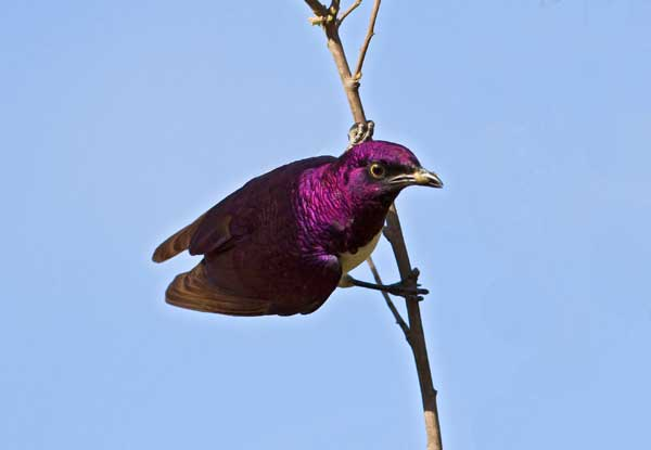 Violet-backed Starling at Sabi Sabi