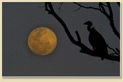 Moon and Vulture