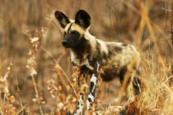 wild dog at sabi sabi