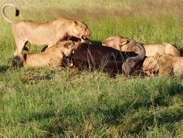 lion kill at sabi sabi