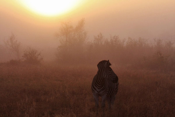 zebra on safari in the mist
