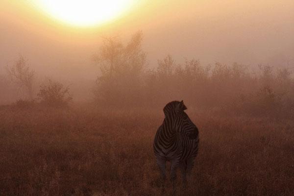 zebra on safari in the mist